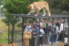 Conheça as 10 atrações turísticas com animais mais perigosas do mundo