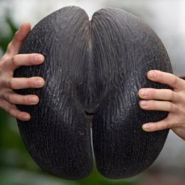 Qual é a maior semente do mundo?