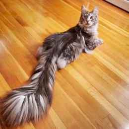 Gato americano bate recorde mundial com rabo de 44,66 centímetros