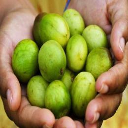 Fruta emblemática do Nordeste, Umbu está ameaçado de extinção