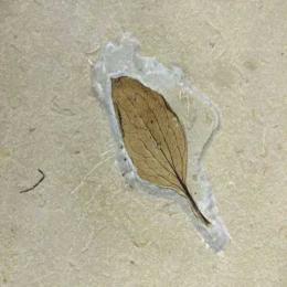 A planta fóssil do Ceará