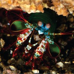Conheça o camarão louva-a-deus, um animal fantástico