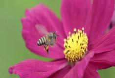 Declínio no número de abelhas traria desnutrição a nações pobres
