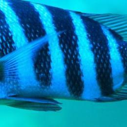 O peixe de carneiro: fatos sobre o peixe com dentes humanos