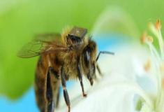 Chip em abelha tenta desvendar mistério de declínio em espécie