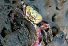 Caranguejos mutantes?