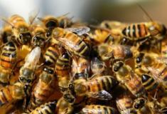 Dois adolescentes são presos nos EUA por causar morte de 500 mil abelhas
