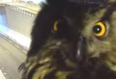 Coruja faz 'photobomb' em câmera de trânsito na Finlândia