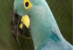Brasil registra primeiro nascimento de arara-azul-de-lear em cativeiro