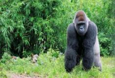 Gorilas da montanha revelam os seus segredos genéticos