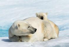 Fotos de um urso polar fotografadas por um drone
