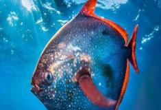 Descoberto primeiro peixe de sangue quente