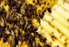 O declínio das abelhas ameaça a agricultura mundial