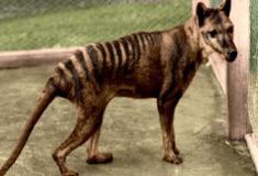 Vídeo raro mostra o extinto tigre-da-Tasmânia