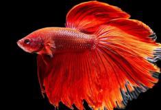 Conheça a incrível beleza dos peixes lutadores
