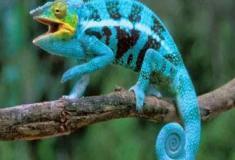 Uma espécie de camaleão pode ser várias?