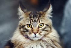 Conheça o Maine Coon, a raça dos gatos gigantes