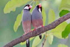 Os pardais de Java: os percussionistas do mundo dos pássaros