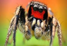 As aranhas saltadoras: visão em três cores
