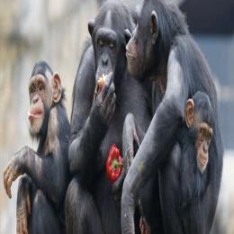 Chimpanzés cozinheiros?