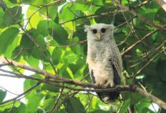 Conheça a Coruja Bubo Nipalensis, um animal inteiramente estampado de corações