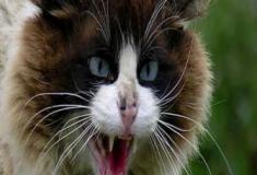 Porque os gatos fazem um chiado estridente?