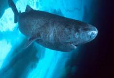 Das profundezas surge o tubarão-da-Groenlândia