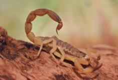 Conheça os 5 escorpiões mais venenosos do mundo
