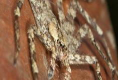 A aranha plantadora das florestas