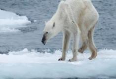 O fim dos ursos-polares?