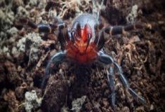 A misteriosa aranha de presas vermelhas