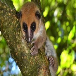 O lêmure-anão de Madagascar