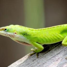 Como os lagartos escalam paredes?