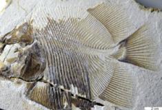 Encontrado fóssil de peixe semelhante à piranha