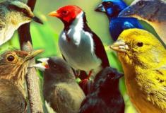 10 melhores pássaros cantores no mundo