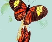 Reprodução das borboletas, seu ciclo de vida inclui quatro fases