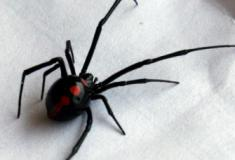 10 Fatos fascinantes sobre as aranhas viúva negra