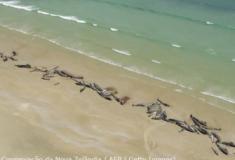 Cerca de 140 baleias piloto encalharam na Nova Zelandia