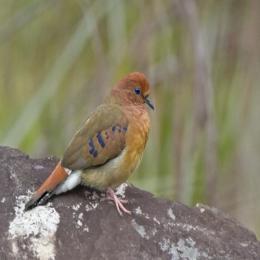 Rolinha-do-planalto de volta ao Cerrado