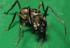 A curiosa aranha que amamenta seus filhotes