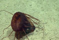 Conheça estranhas criaturas das profundezas do Golfo do México
