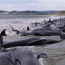 Retomada à caça de baleias no Japão é um grande retrocesso