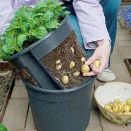 Como cultivar batatas em vasos