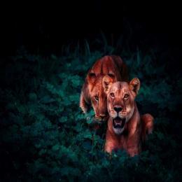 Leões: os felinos sociais