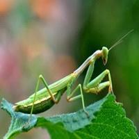 Louva-a-deus: fêmea mata e come o macho durante ato de acasalamento