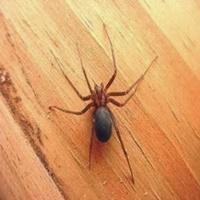 Confira quais são as aranhas mais perigosas