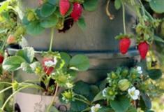 Como fazer uma torre com vasos para plantar morangos