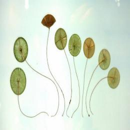 As algas crisofíceas diatomáceas