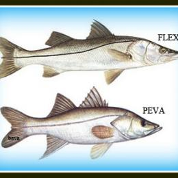 Pescaria de Robalo / Snook (Centropomus spp.)