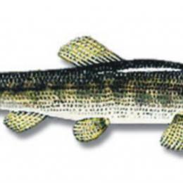 Pescaria de Traíra / Wolf-Fish ( Hoplias malabaricus)